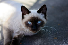 Blue eyes Siamese cat. Siamese cat resting on the sidewalk watching the movement on the street Royalty Free Stock Photos