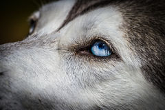 Blue eyes Siberian Husky Stock Images