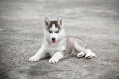 Blue eyes siberian husky lying Stock Image