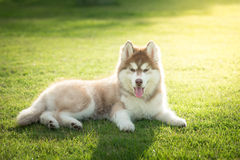 Blue eyes siberian husky puppy lying and looking on green grass Royalty Free Stock Photo