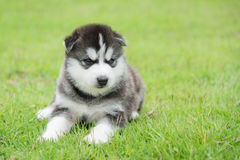 Blue eyes siberian husky puppy sitting and looking Stock Photo