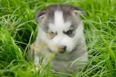 Blue eyes siberian husky puppy sitting and looking Royalty Free Stock Images