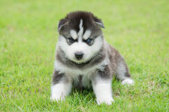 Blue eyes siberian husky puppy sitting and looking Royalty Free Stock Photography