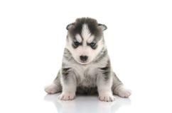 Blue eyes Siberian Husky puppy Royalty Free Stock Photography