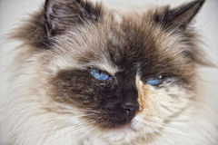 Blue Eyes white and black ragdoll cat Stock Photo