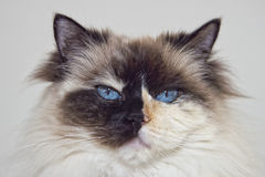 Blue Eyes white and black ragdoll cat Royalty Free Stock Photo