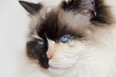 Blue Eyes white and black ragdoll cat Stock Image