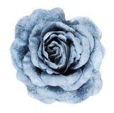 Blue fabrics rose Stock Photo