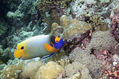 Blue-face Angelfish. An adult blue-face angelfish swimming among corals on the reef, underwater Royalty Free Stock Image