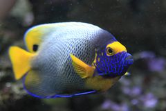 Blue Face Angelfish Royalty Free Stock Photography