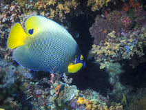 Blue Face Angelfish - Papua New Guinea Stock Images