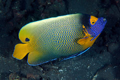 Blue-face angelfish (Pomacanthus xanthometopon) Stock Photo