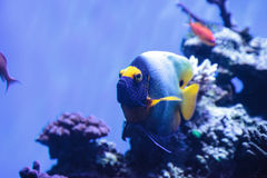 Blue faced angelfish Pomacanthus xanthometopon. In a coral reef Stock Image