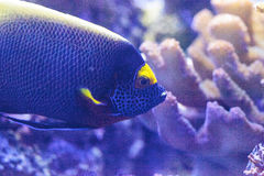 Blue faced angelfish Pomacanthus xanthometopon. In a coral reef Stock Photos