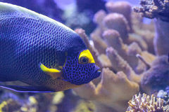 Blue faced angelfish Pomacanthus xanthometopon. In a coral reef Royalty Free Stock Images