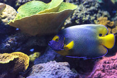 Blue faced angelfish Pomacanthus xanthometopon. In a coral reef Royalty Free Stock Photos