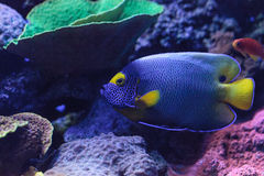 Blue faced angelfish Pomacanthus xanthometopon. In a coral reef Royalty Free Stock Photo