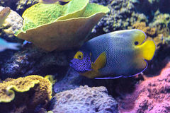 Blue faced angelfish Pomacanthus xanthometopon. In a coral reef Stock Photo