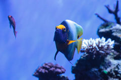 Blue faced angelfish Pomacanthus xanthometopon. In a coral reef Royalty Free Stock Photography