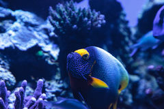 Blue faced angelfish Pomacanthus xanthometopon. In a coral reef Royalty Free Stock Image