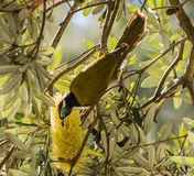 Blue faced honey eater feeding on yello flower Royalty Free Stock Photography