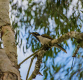 Blue Faced honey eater sitting on a branch Royalty Free Stock Images