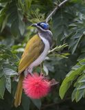 Blue faced honey eater sitting in a flowering tree. A Blue Faced Honey-eater sitting in Flowering bush displaying its colourful plumage, can be found on the royalty free stock images