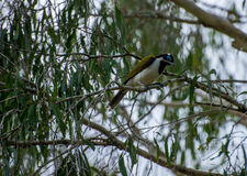 Blue faced honey eater Royalty Free Stock Image