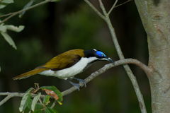 Free Blue-faced Honeyeater Royalty Free Stock Image - 15627416