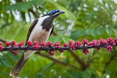 Blue-faced Honeyeater Royalty Free Stock Photography