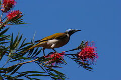 Blue-faced Honeyeater. (Entomyzon cyanotis) feeding on red grevillea flowers in southern Queensland Royalty Free Stock Photo