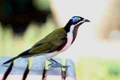 Blue-Faced Honeyeater (Entomyzon Cyanotis) Stock Photo