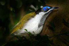 Blue-faced Honeyeater, Entomyzon cyanotis, rare bird in dark forest. Beautiful bird from Australia. Bird with blue face sitting on Stock Photography