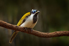 Blue-faced Honeyeater, Entomyzon cyanotis, rare bird in dark forest. Beautiful bird from Australia. Bird with blue face sitting on Stock Photo
