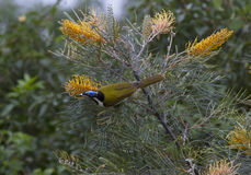 Blue faced honeyeater feasting on flowering grevillias. Blue faced honeyeater feasting on the flowering grevillias, Nambour, Queensland, Australia Stock Image