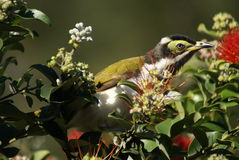Blue-faced honeyeater female profile portrait Stock Photo