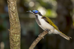 Blue-Faced Honeyeater Royalty Free Stock Image