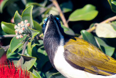 Blue-faced honeyeater portrait Royalty Free Stock Photo