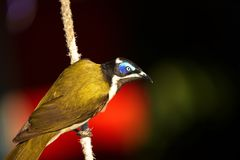Blue faced honeyeater Stock Photography