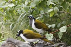 Blue-faced honeyeaters Royalty Free Stock Photo