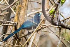 Blue faced Malkoha closeup Stock Photo