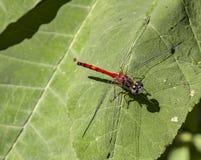 Blue-faced Meadowhawk. Sympetrum ambiguum dragonfly on leaf Stock Image