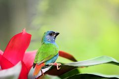 Blue-faced Parrotfinch Bird Stock Photos