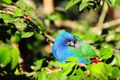 Blue-faced Parrotfinch Bird. A very colorful bird standing on a tree branch in an aviary in Butterfly World, South Florida.  The Blue-faced Parrotfinch is found Royalty Free Stock Photos