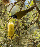 Blue faced wattlebird next to yellow flower Royalty Free Stock Photo