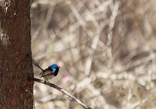 Superb Fairy Wren on branch stock image