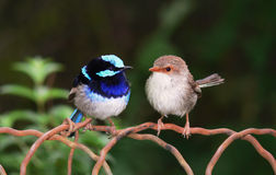 Blue fairy wrens Stock Photos