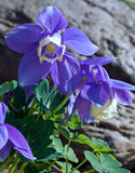 Blue Columbine flowers in bloom Royalty Free Stock Photography