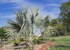 Blue Fan Palm in a Desert Garden in Israel stock photography