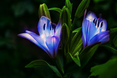 Blue fantastic Lily flowers on a dark background. Royalty Free Stock Photos